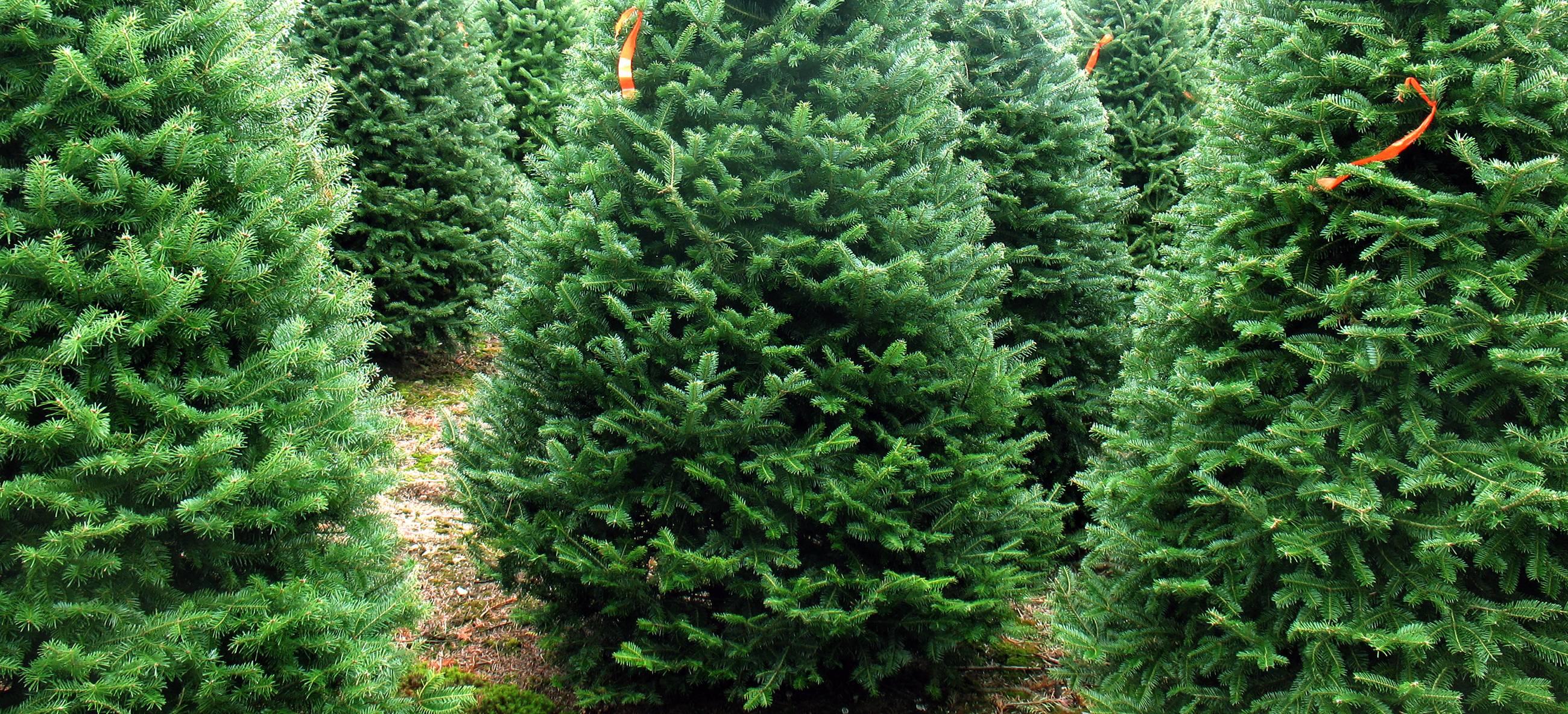 balsam-fir-christmas-tree-campaign